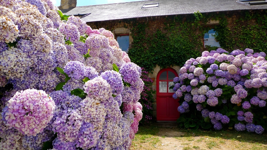 гортензия посадка красивый сад
