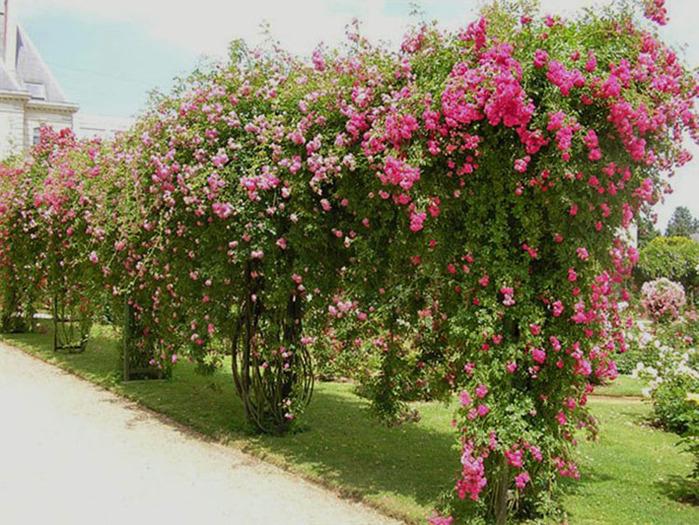 плетистая роза, плетистые розы весной, плетистая роза фото