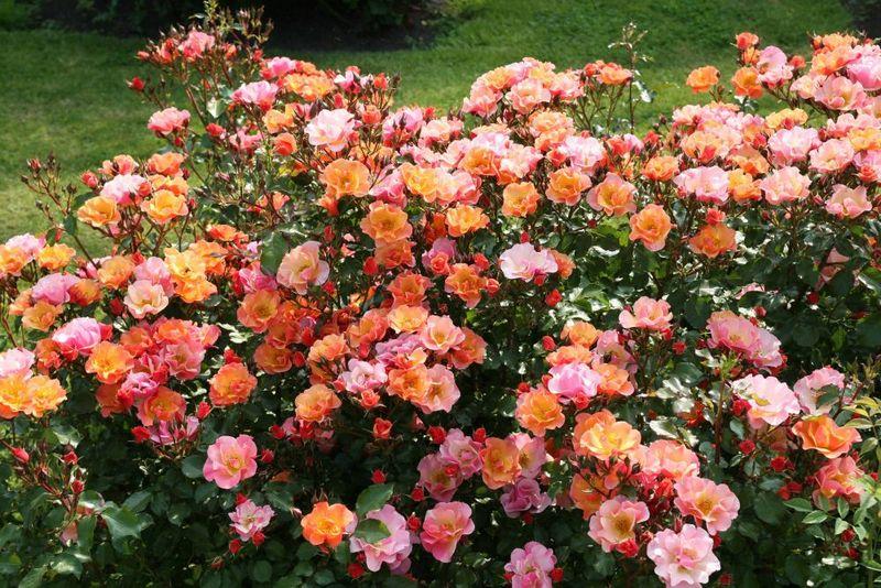 как правильно сажать розы розы своими руками