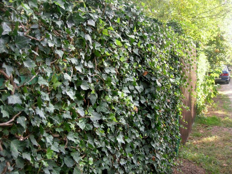 плющ на участке вертикальное озеленение