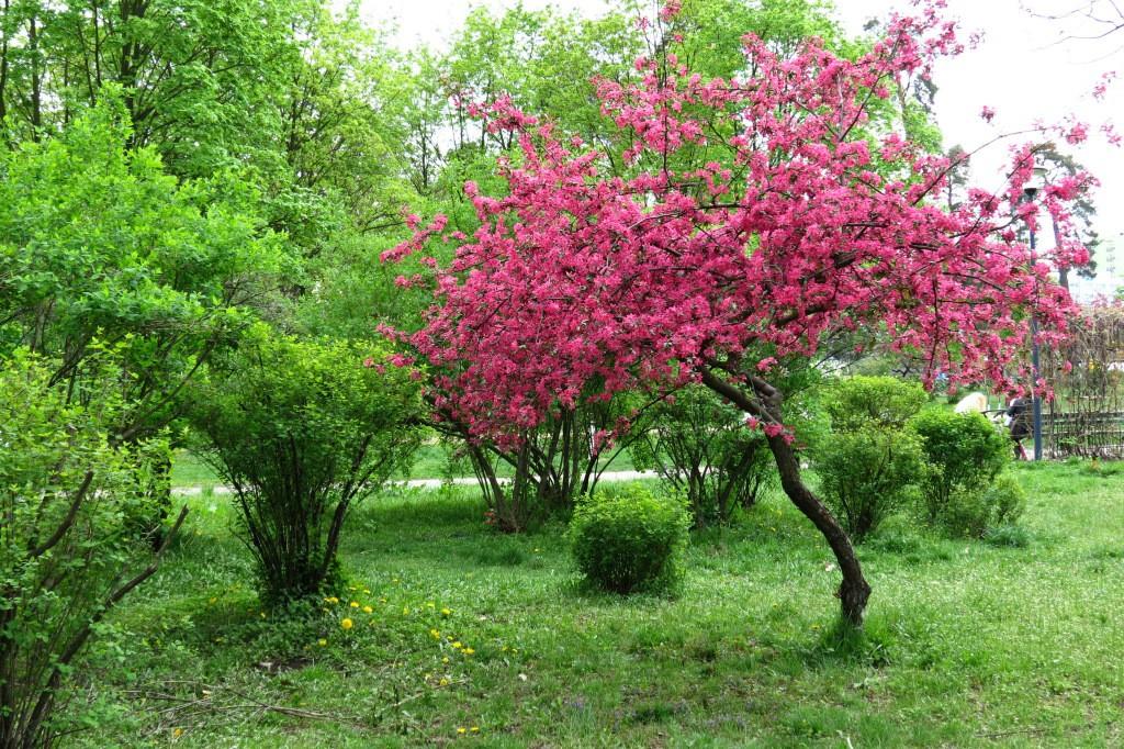 яблоня Недзвецкого садовый декор