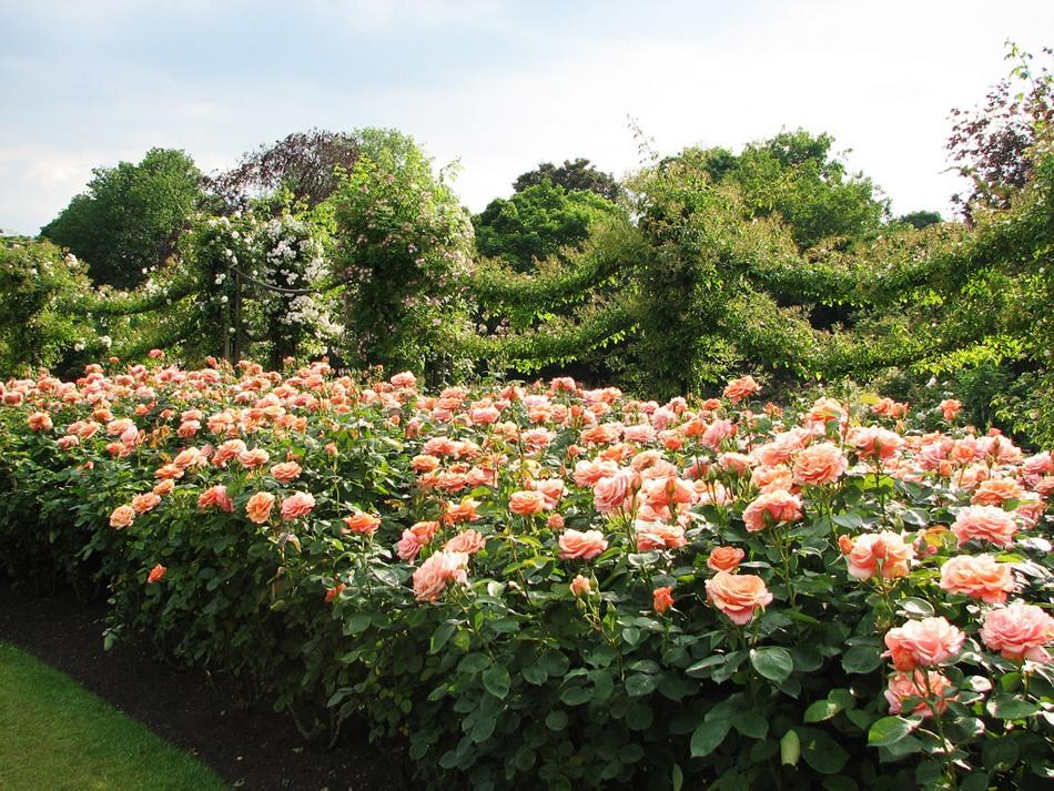 Риджентс парк Англия Regent's Park розы розарий своими руками