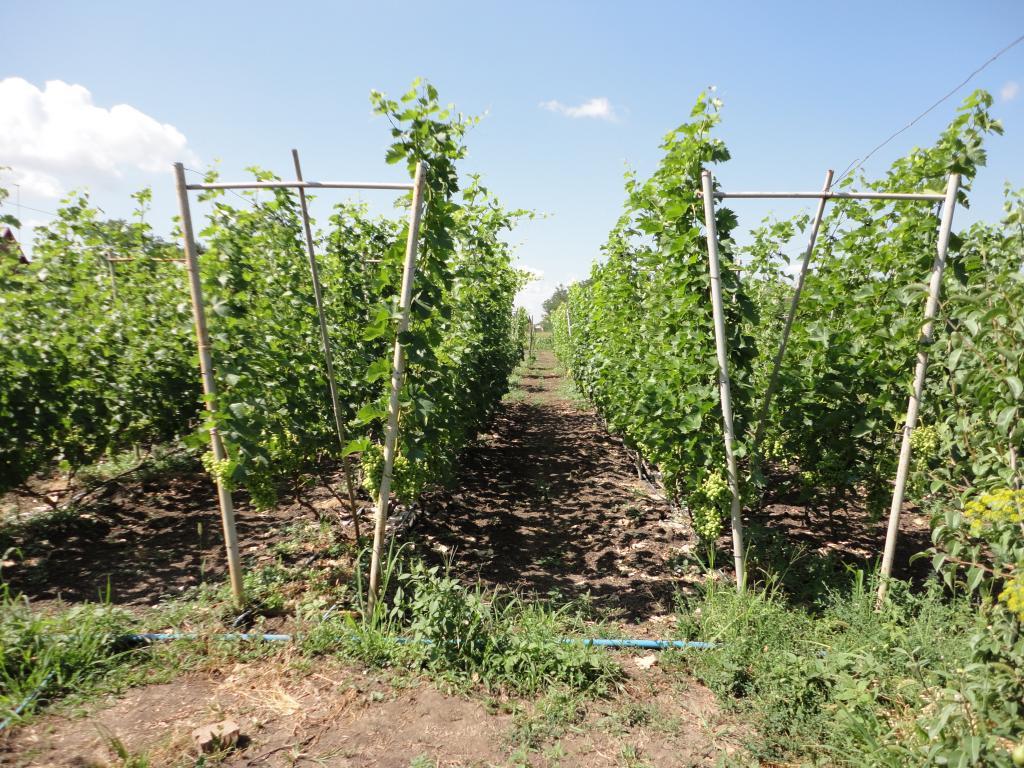 Шпалера своими руками для винограда