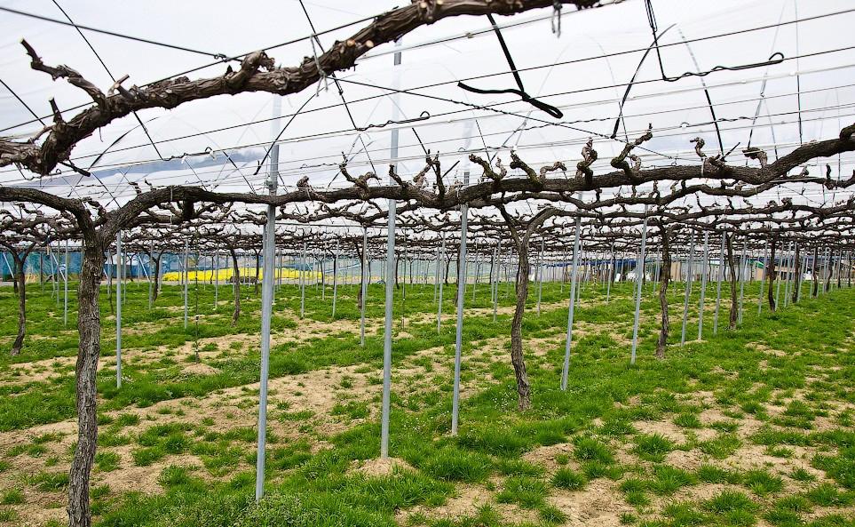шпалеры для винограда роз огурцов своими руками как сделать