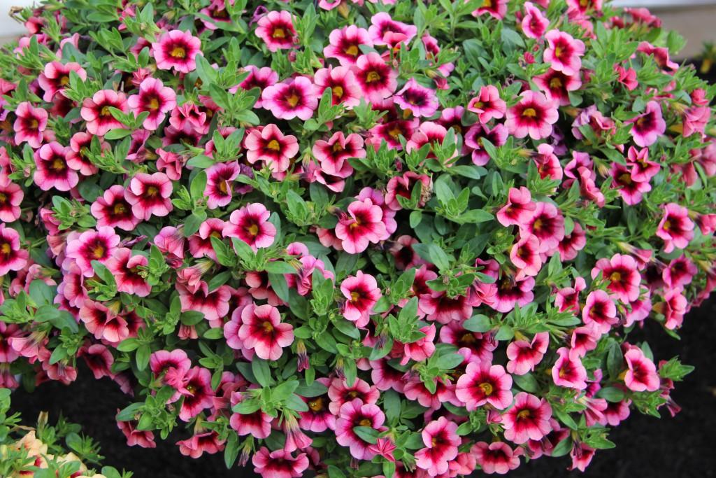 Калибрахоа ампельные растения подвес для цветов
