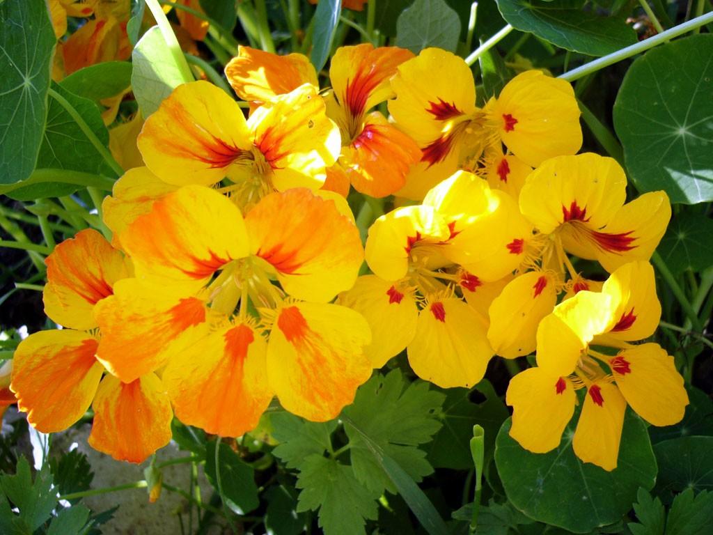 Настурция ампельные растения на участке