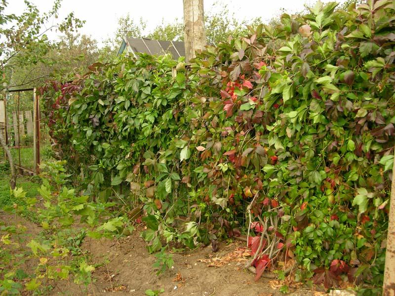 девичий дикий виноград украшаем забор своими руками