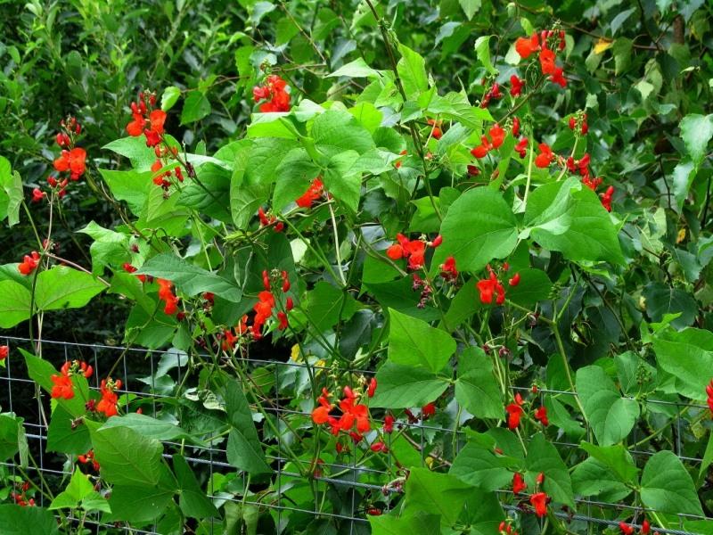 украшаем забор цветами своими руками вьющаяся декоративная фасоль