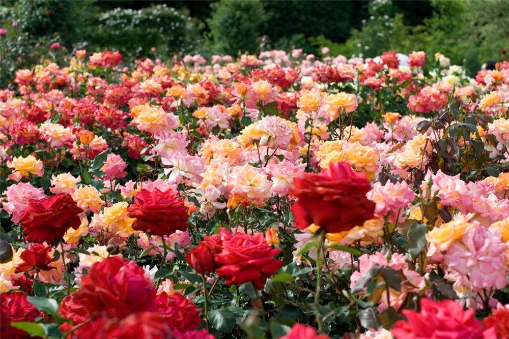 розы выращивание роз