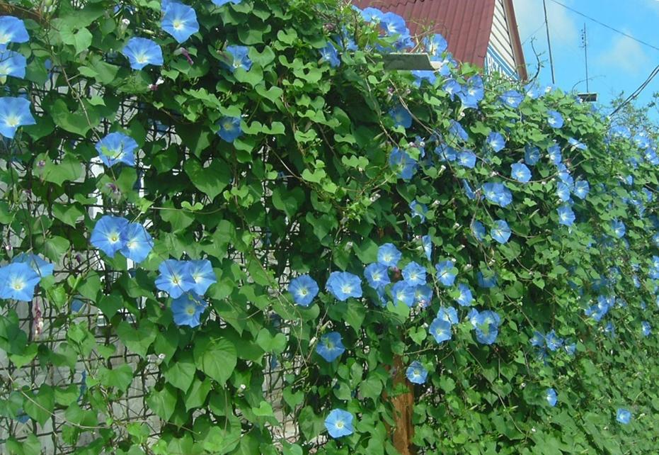 украшаем забор цветами своими руками ипомея