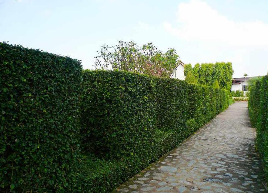 декоративный кустарник зубчатая стена