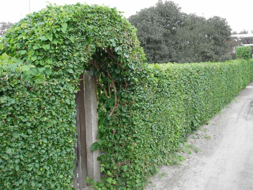 плющ зеленый забор изгородь из растений своими руками