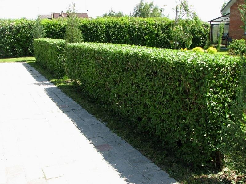 зеленая стена из кустарника