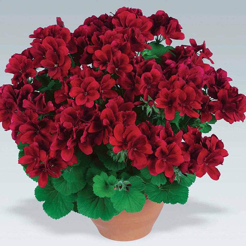 пеларгония ампельные растения на участке