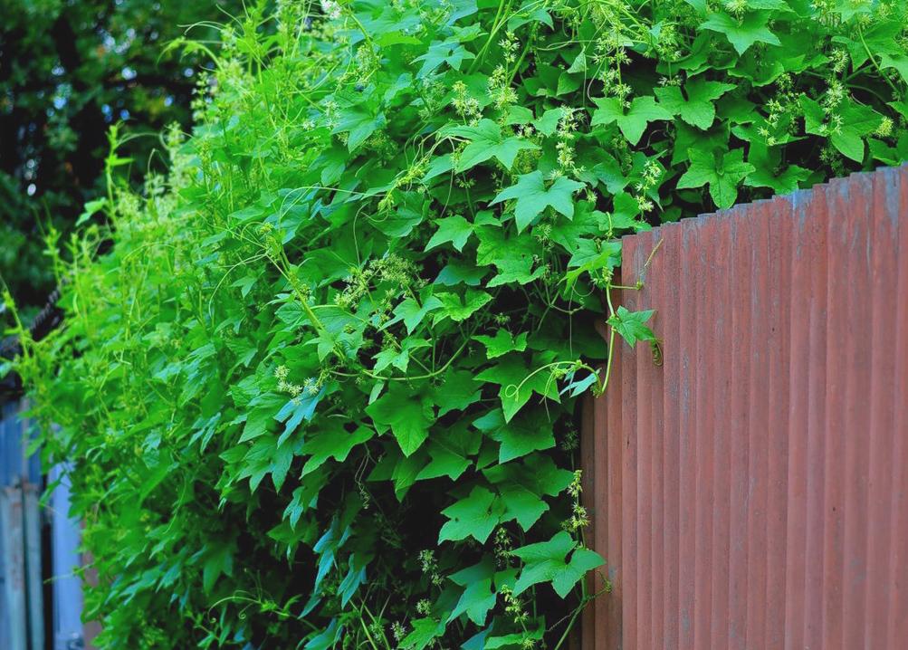 жимолость зеленый забор изгородь из растений своими руками