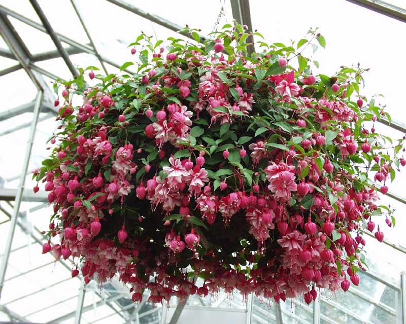 Фуксия ампельные растения для сада