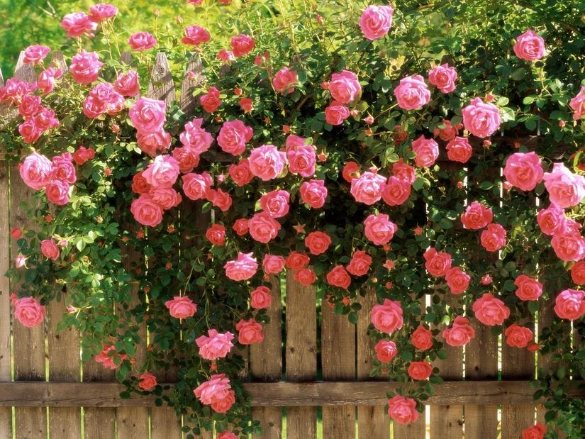 плетистые розы зеленый забор изгородь из растений своими руками