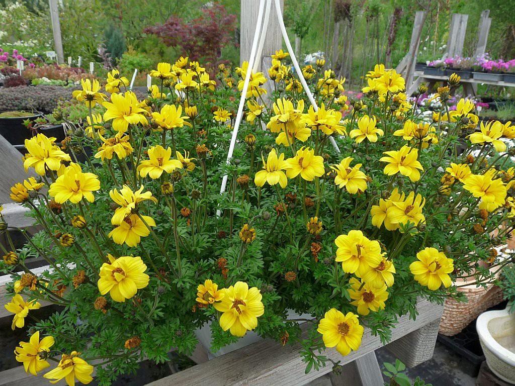 биденс череда ампельные растения для сада