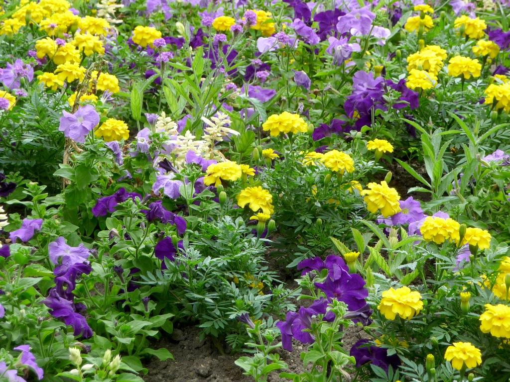 красивое сочетание цветов на клумбе