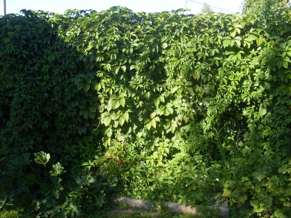 хмель зеленый забор изгородь из растений своими руками