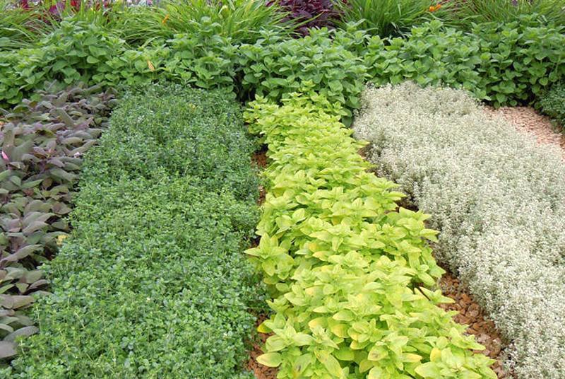 выращивание пряных трав своими руками
