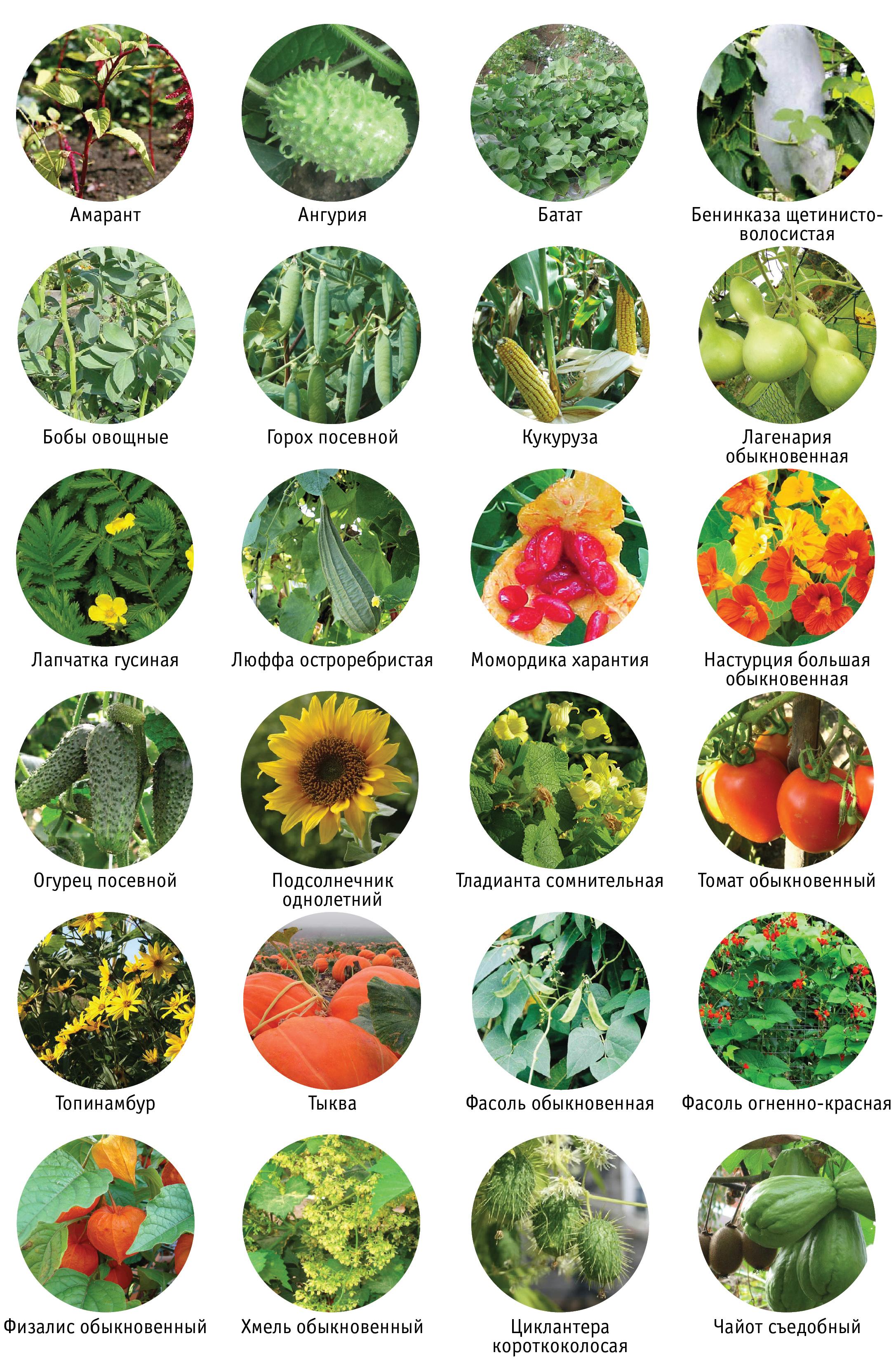 ассортимент живые изгороди из овощей