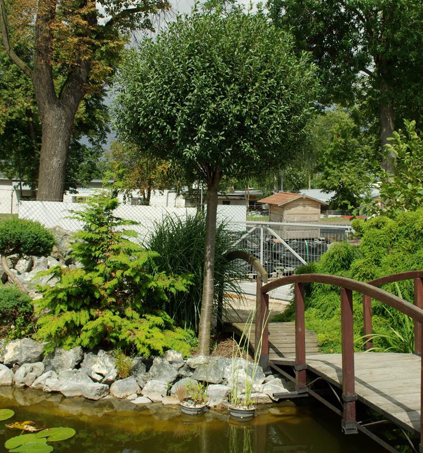 вишня обыкновенная декоративные листопадные кустарники для сада