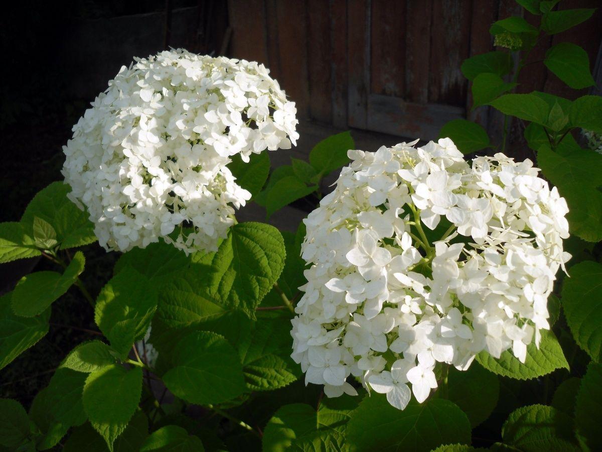 гортензия декоративный кустарник для сада