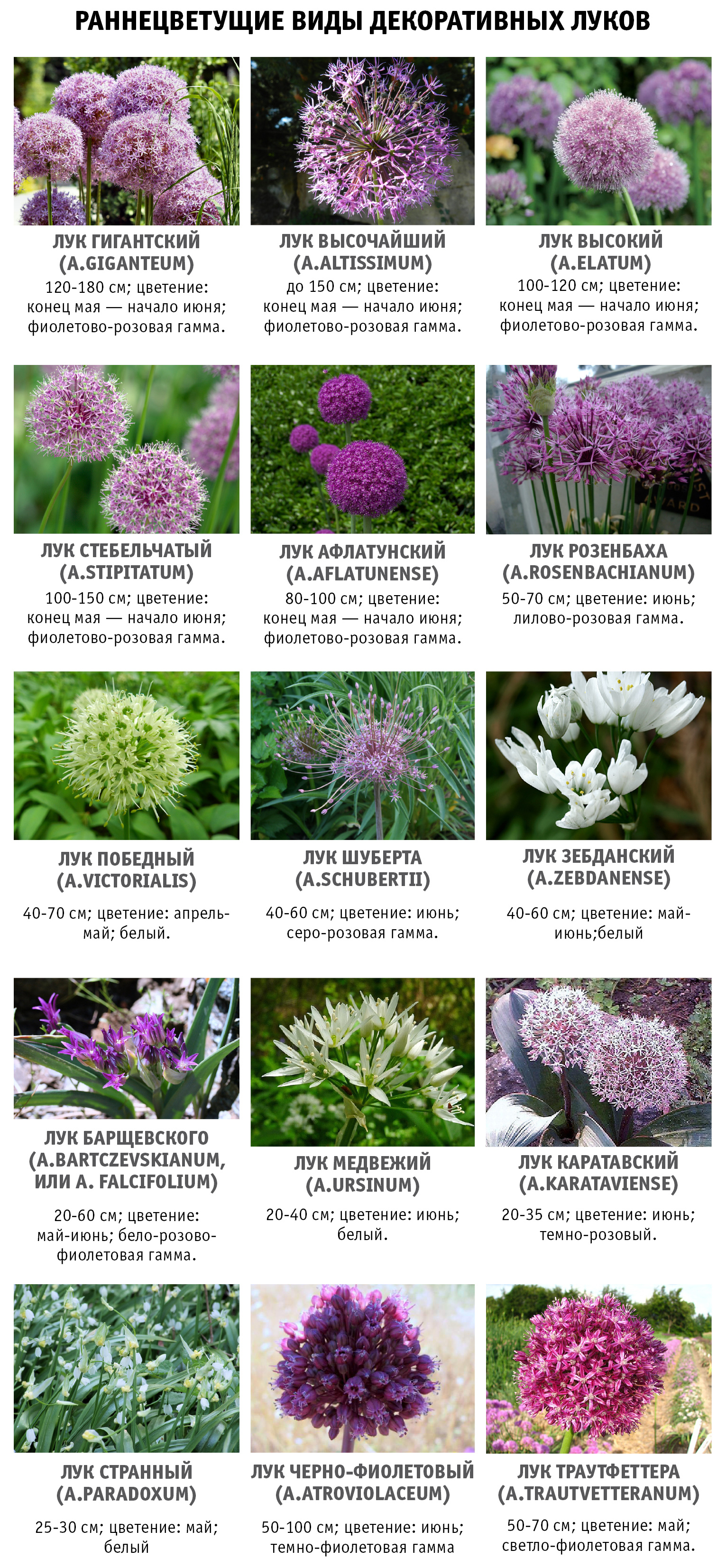 сроки цветения декоративных луковичных