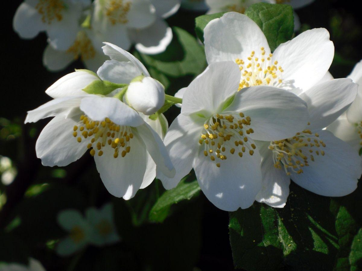 чубушник декоративный кустарник для сада