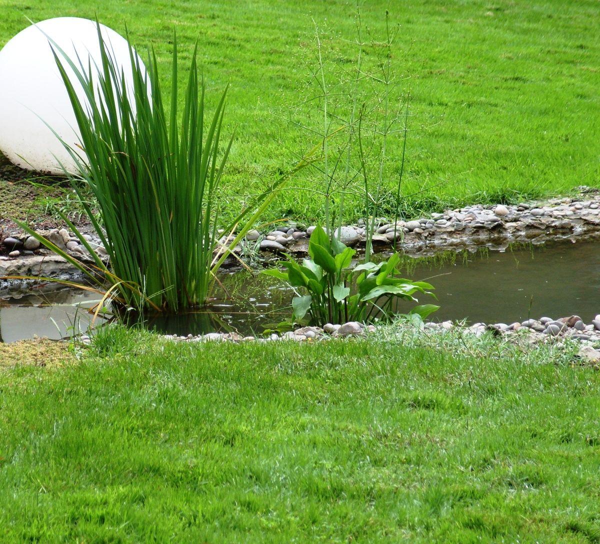 частуха подорожниковая водные декоративные растения для дачи