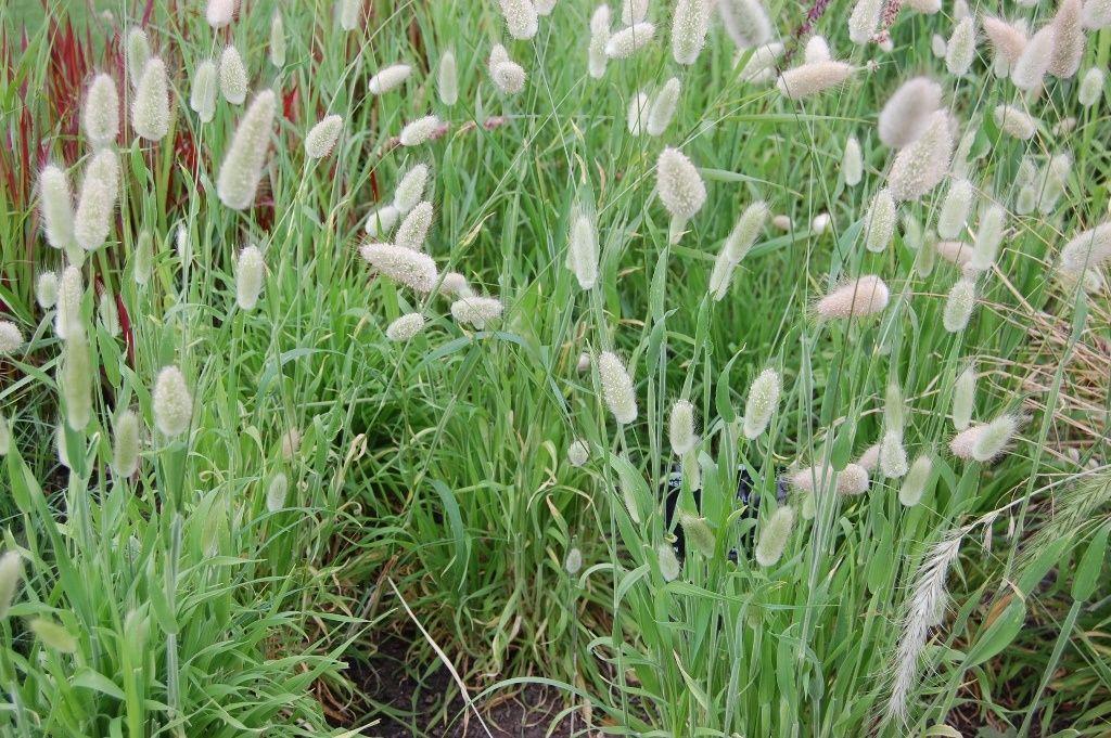 лагурус яйцевидный зайцехвост декоративный злак для сада