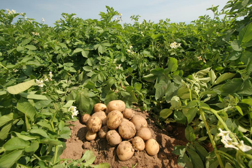 как получить богатый урожай картофеля своими руками