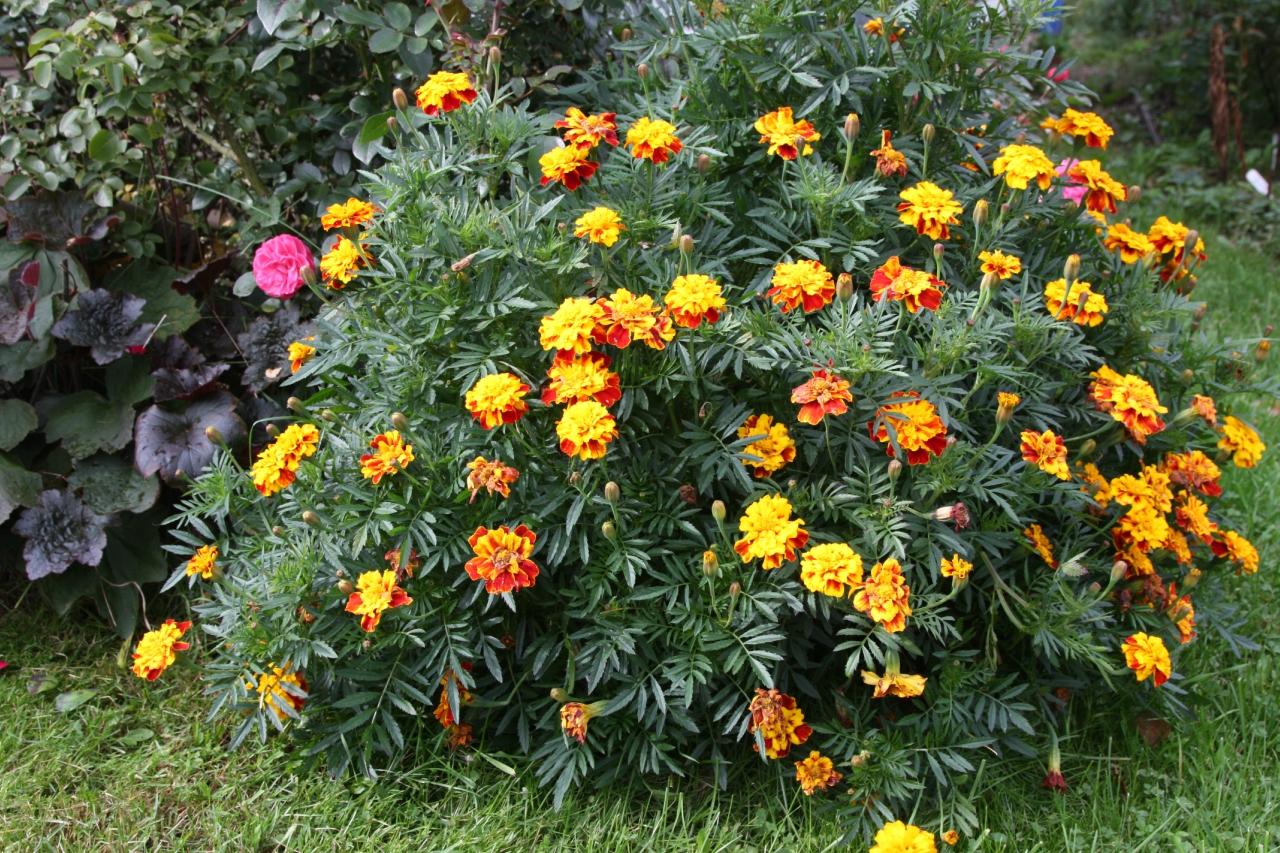 популярные цветы июль бархатцы