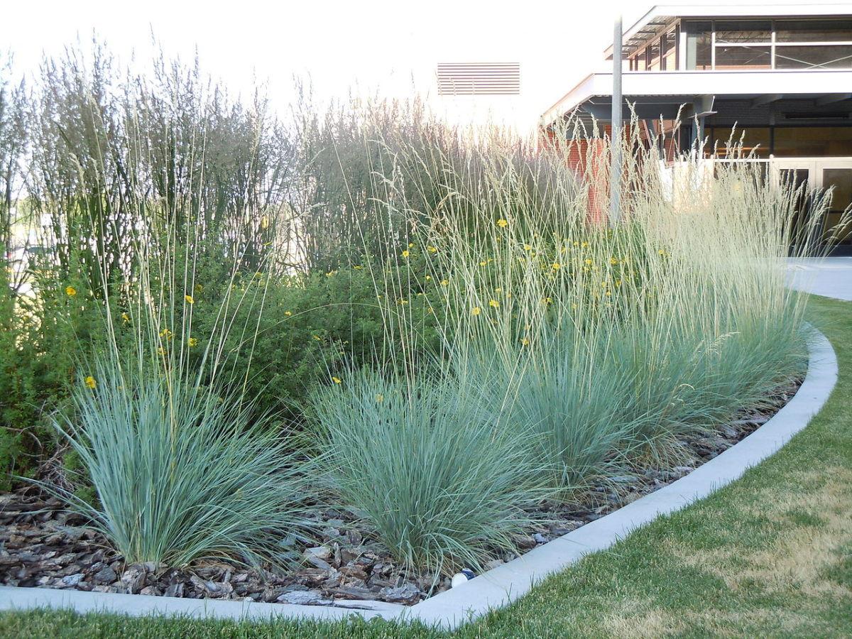 овсец живородящий декоративный злак для сада