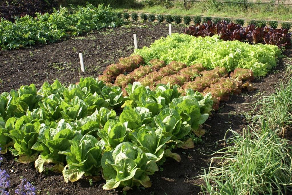 Что посадить в огороде чтобы не ухаживать