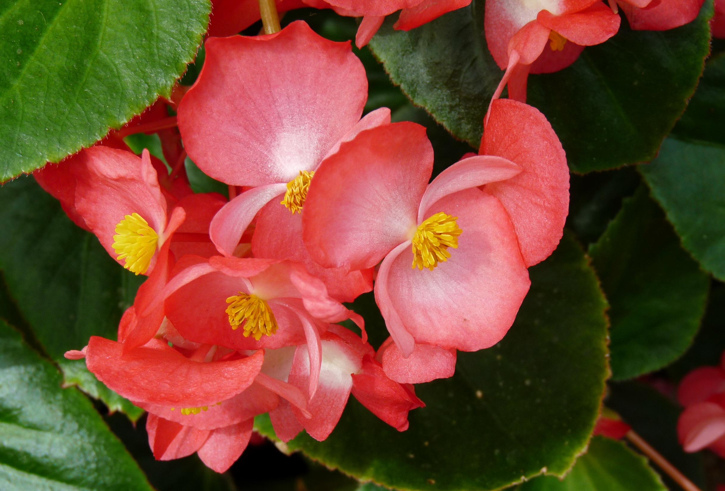 популярные цветы июль бегония