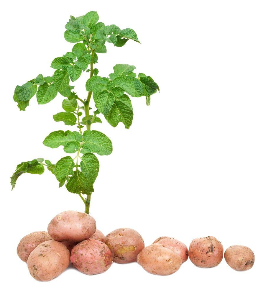 повысить урожай картофеля