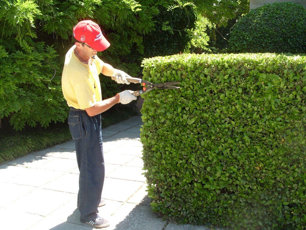 как правильно стричь запущенные зеленые изгороди