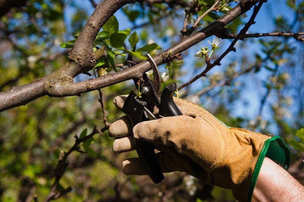как повысить урожайность яблонь