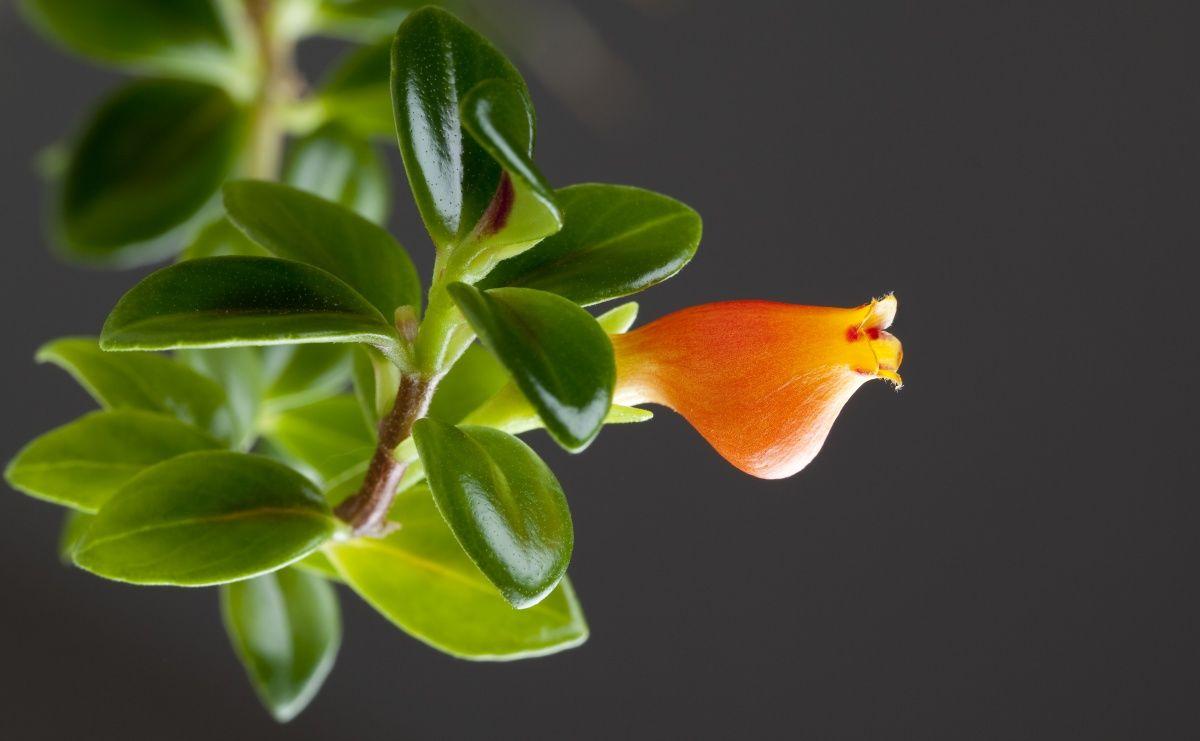 гипоцирта голая необычные красивые цветы для дома
