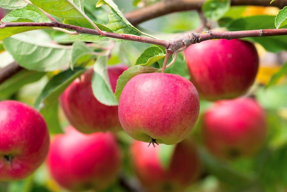 как собрать богатый урожай яблок