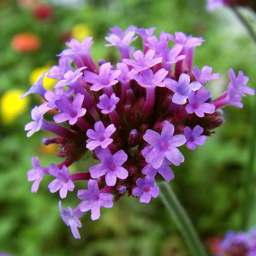популярные цветы июль вербена
