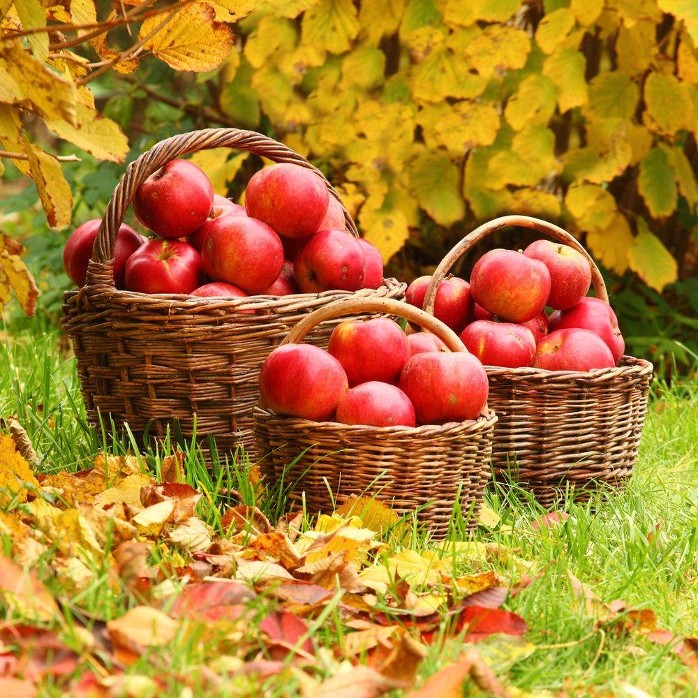 как повысить урожай яблок