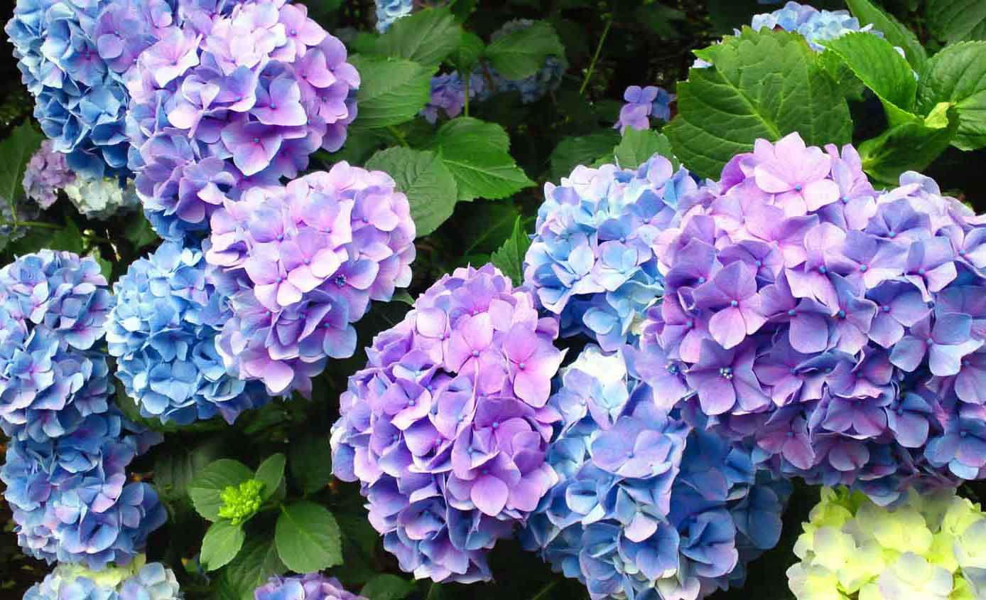 популярные цветы июль гортензия
