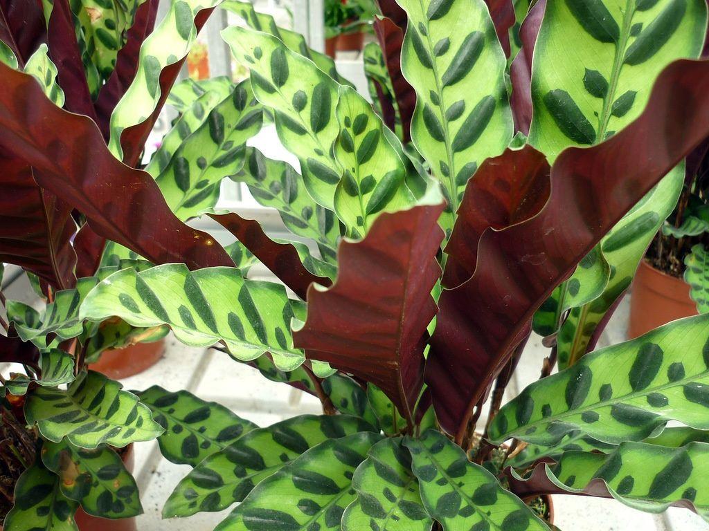 Калатея Замечательная необычные красивые цветы для дома