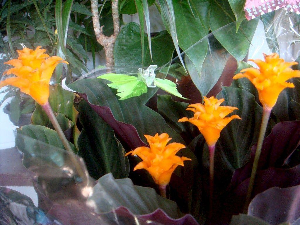 Калатея Шафранная необычные красивые цветы для дома