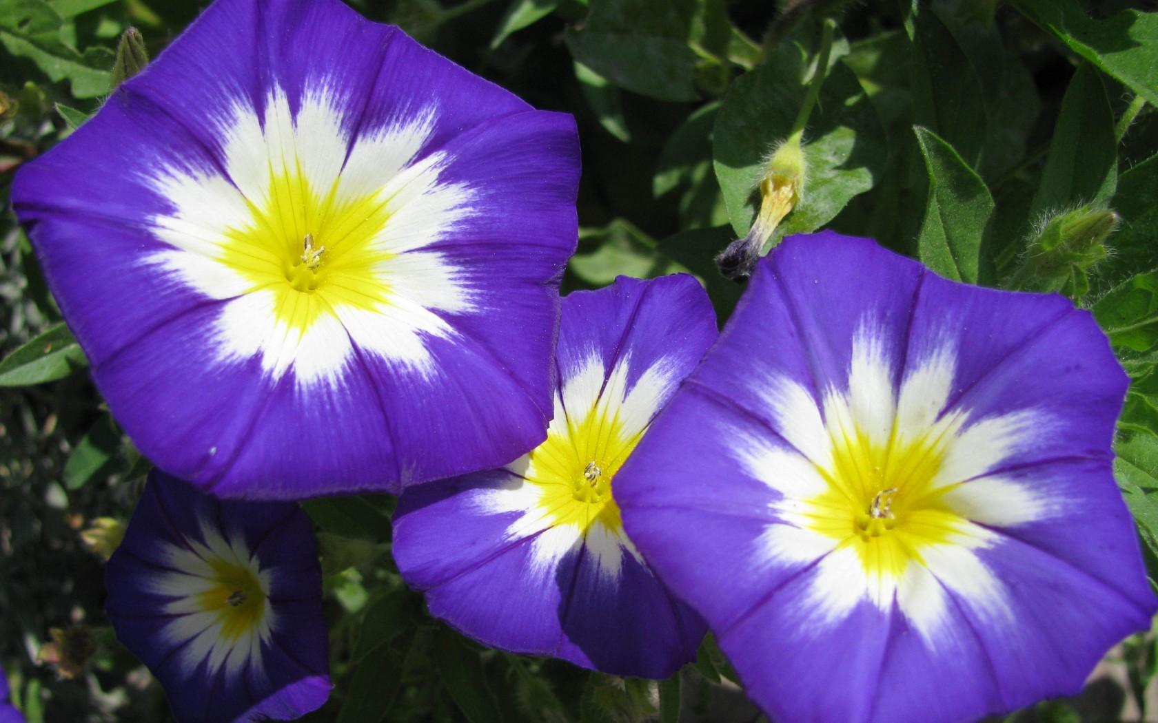 популярные цветы июль ипомея