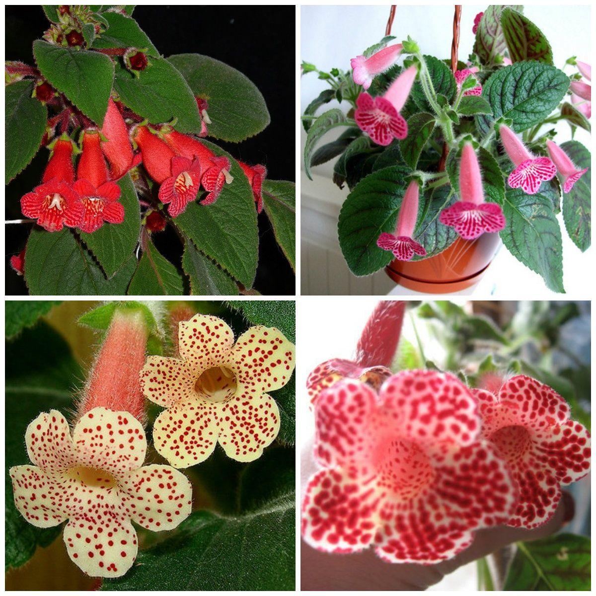 Цветы комнатные мохнатые