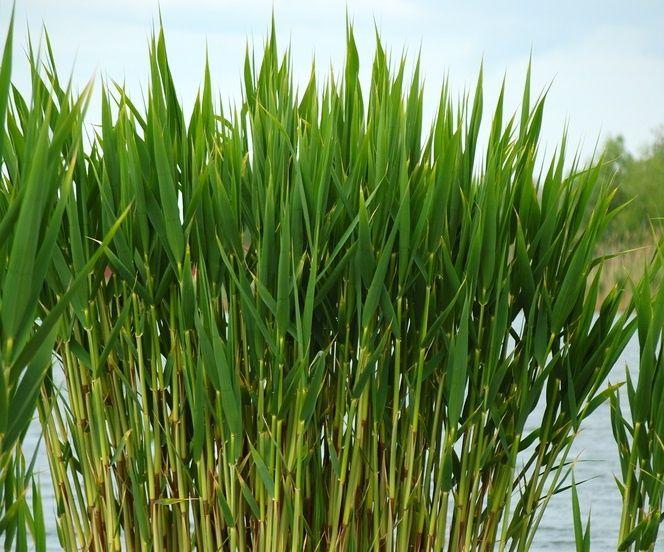 тростник обыкновенный декоративные растения для пруда